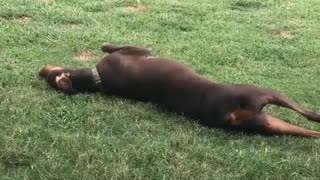 Brown dog rolling around in grass