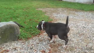 American Bully meets French Bulldog. Play time