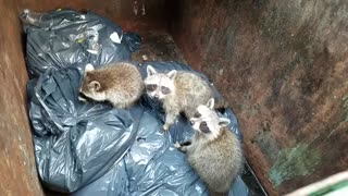 3 Baby Raccoons Found In a Dumpster - Video