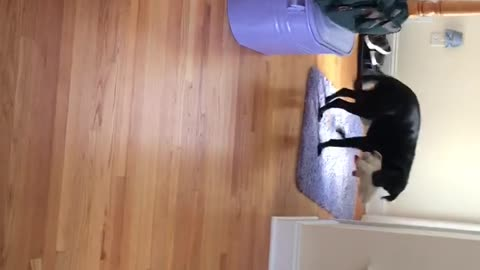 Dog gets excited to see cat