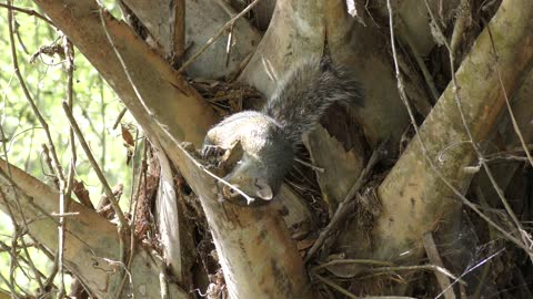 squirrel gnaws a palm tree branch