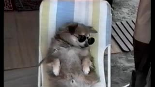 Cool Dog Enjoys A Lazy Day At The Beach - Video