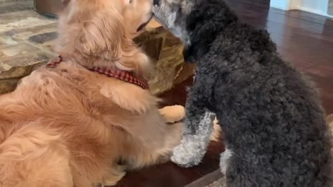 Patient dog puts up with overly attached dog