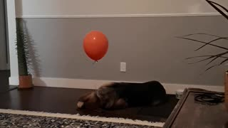Balloon Confuses Dog