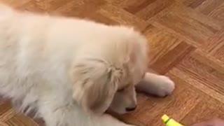 Golden retriever puppy plays with owner holding yellow toy