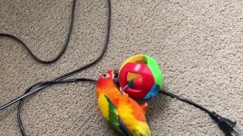 Sun conure plays fetch!