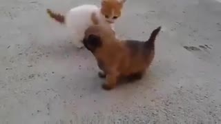 Fight cat is stronger than the dog, - Video