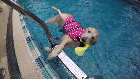 Golden Retriever decides to float instead of swim