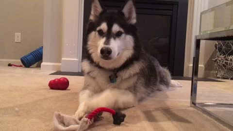 Husky throws fit when owner doesn't play with him