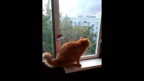 Fascinated cat chirps at birds behind glass