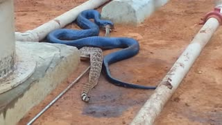 Blue Indigo Vs. Rattlesnake - Video