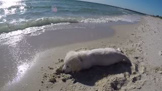 Puppy furious after ocean water destroys his sandcastle - Video