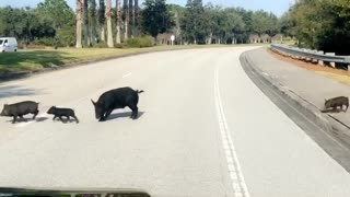 Why Did the Pigs Cross the Road?