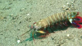 Mantis Shrimp Swimming - Video