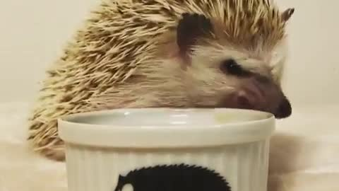 Hedgehog eating his lunch very quickly