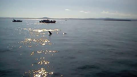 Killer Whales pass by boat
