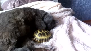 Cat and turtle incredibly cuddle each other during nap