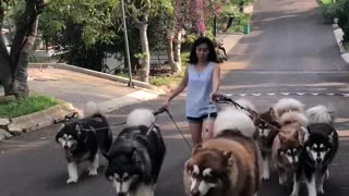 Malamute Pack Help Walk Owner