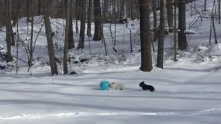 Black and white french bulldogs chase around a blue ball in the snow