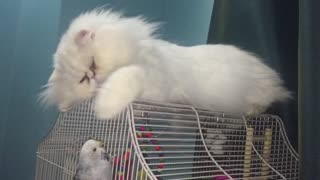 cat invasion on parrots cage! - Video