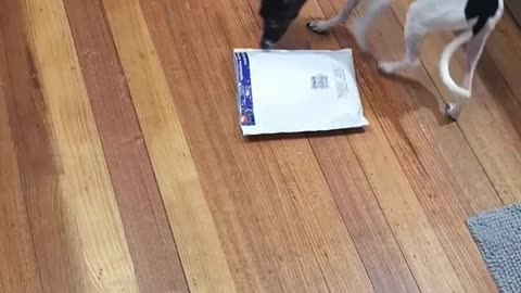 Dog Just got Her Best Gift by Mail