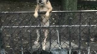 Miley cyrus dog climbs over fence from bench