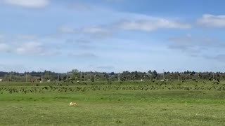 Corgi rushes after enormous flock of birds causing them to scatter