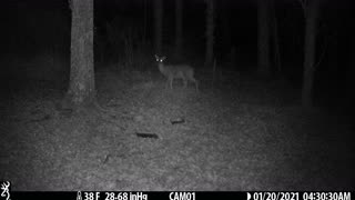 Doe comes into clearing