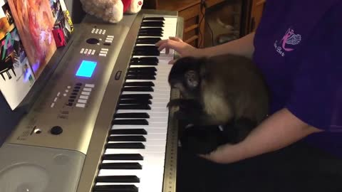 Monkey Shows That She Can Play The Piano, Too!