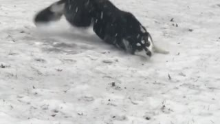 Collab copyright protection - husky dog slips on icy ground