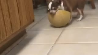 Dog trying to eat melon