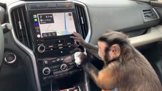 Capuchin Monkey Politely Cleans Owner's Car