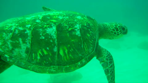 Young Green Sea Turtle