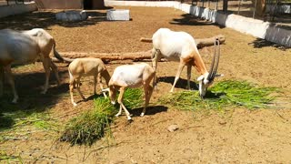 Hungry Scimitar oryx big Fans Of Green Morning Grass