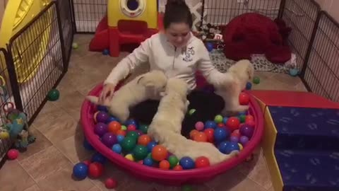 Golden Retriever puppies play in ball pit