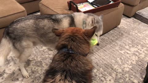 Dogs engage in laziest game of tug-of-war ever