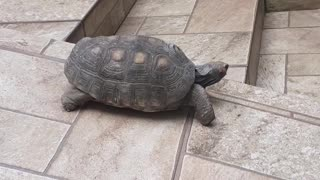 Red-Footed Tortoise Rides Ramp for Fun