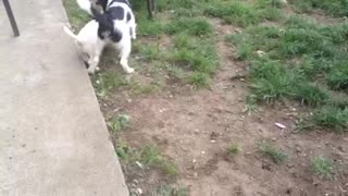 Puppies joyful playing