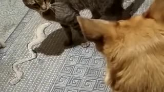 brutal attack of a cat on a dog