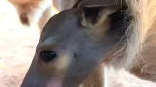 Cute Little Kangaroo Joey
