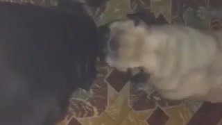 It's a Pug wash!  - Video