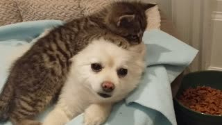 Rescued kitten loves Pomeranian dog - Video