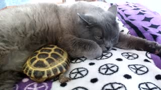 Cat And Turtle Duo Cuddle Like Littermates