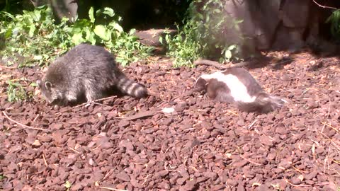 Skunk and Raccoon Eating Food