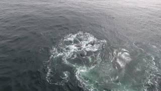 Pod of Orcas Prey on Grey Whale Calf - Video