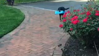 Black dog won't bring paper to owner - Video