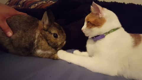 Jealous Cat Envious Of The Attention The New Bunny Is Getting From Owner