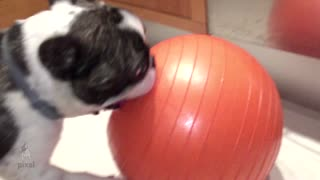 French Bulldog obsessed with big orange ball