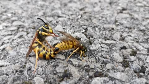 Dude Discovers a Couple of Licentious Wasps