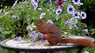 Animal Mammal Squirrel Sciurus Vulgaris Major - Video